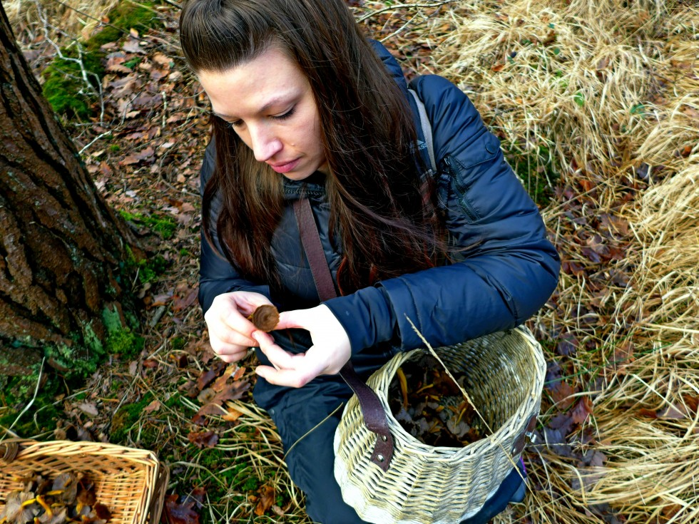 Picking winter chanterelles