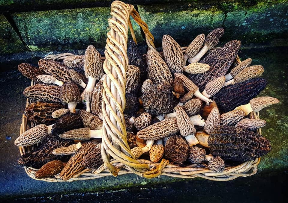 About 40 woodchip black morels in a basket