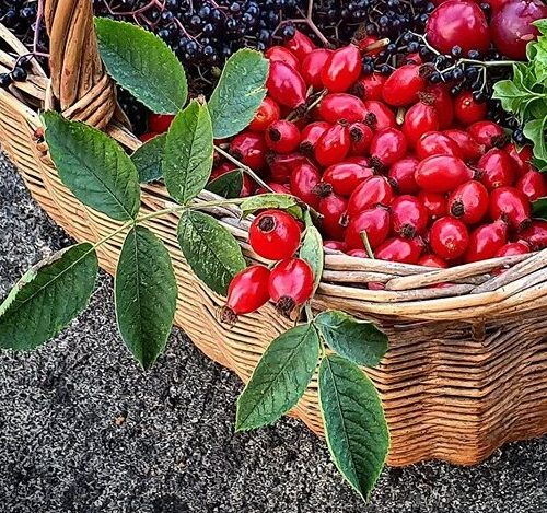 Foraged wild rosehips in a wicker basket with a few rose leaves too