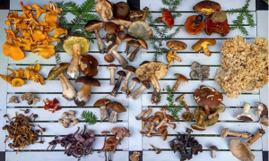 A display of edible fungi laid out on a table in family groups all found on an autumn foraging course in the Lake District