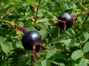 Black burnet rosehips on bush