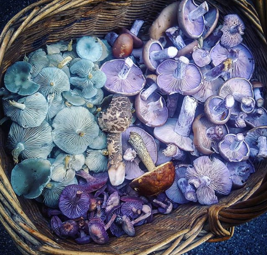 Purple wood blewits and turquoise aniseed funnels in a basket